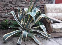 گل آگاو ابلق  در شیپور-عکس کوچک