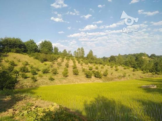 فروش زمین کشاورزی  باغ مرکبات زرین آباد علیا   در گروه خرید و فروش املاک در مازندران در شیپور-عکس4