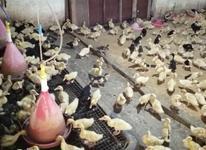 جوجه اردک اصیل پکنی ورامینی در شیپور-عکس کوچک
