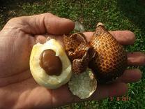 درخت سالاک یا میوه پوست مار  در شیپور