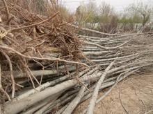 باغبانی درختکاری درختچه نهال فروشی درخت پایان کاری پایانکار در شیپور