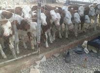 فروش گوساله های پرواری در شیپور-عکس کوچک