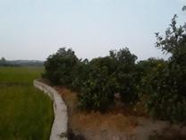 فروش زمین باغی 5200متری مسطح قطره ای در شیپور