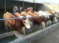 فروش انواع گوساله های پرواری در شیپور-عکس کوچک