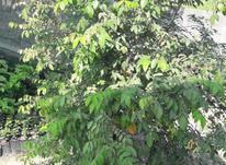 نهال درخت میوه ستاره گلدانی (استار فروت) در شیپور-عکس کوچک