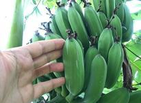درخت موز کاردابا گلدانی (آمریکایی) در شیپور-عکس کوچک