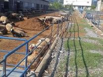 فروش دامداری صنعتی در شیپور