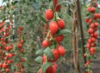 نهال میوه کمیاب گوجی بری قرمز در شیپور-عکس کوچک