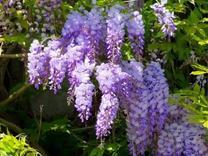 نهال گل پیچ گیلیسین سطل 7 در شیپور