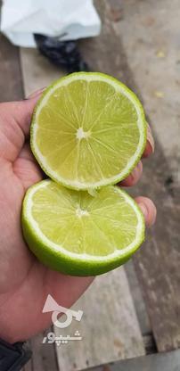 نهال لیمو ترش پرشین لایم دو ساله در گروه خرید و فروش لوازم خانگی در مازندران در شیپور-عکس3