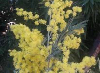 درخت گل میموزا سطلی  در شیپور-عکس کوچک