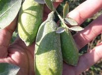 نهال لیمو ترش انگشتی استرالیا در شیپور-عکس کوچک