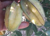 نهال میوه ستاره کمیاب در شیپور-عکس کوچک