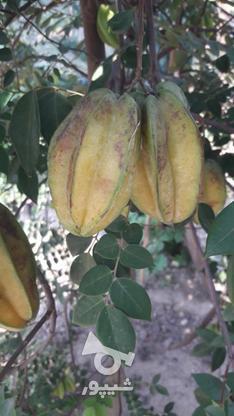 نهال میوه ستاره کمیاب در گروه خرید و فروش لوازم خانگی در مازندران در شیپور-عکس6