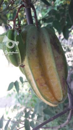 نهال میوه ستاره کمیاب در گروه خرید و فروش لوازم خانگی در مازندران در شیپور-عکس7