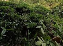 فروش زمین باغی 3000 متر در کویه در شیپور-عکس کوچک