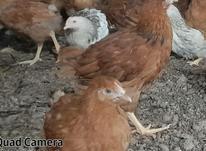 فروش جوجه مرغ محلی گلپایگان و کاکلی 5ماهه در شیپور-عکس کوچک