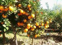 فروش ویژه باغ نارنگی 3500 متری در سورک  در شیپور-عکس کوچک