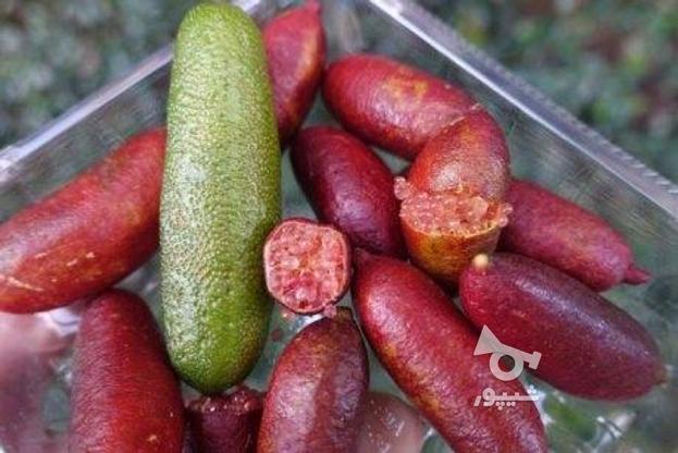 نهال نایاب لیمو ترش خاویاری قرمز در گروه خرید و فروش لوازم خانگی در مازندران در شیپور-عکس3