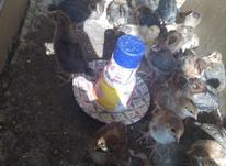 جوجه محلی 1 ماهه در شیپور-عکس کوچک