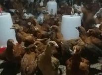 جوجه محلی مرغ وخروس در شیپور-عکس کوچک