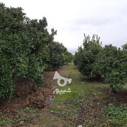 فروش زمین باغ مرکبات خانه باغی شهر اسلام اباد در گروه خرید و فروش املاک در مازندران در شیپور-عکس5