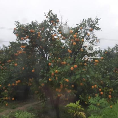 فروش زمین باغ مرکبات خانه باغی شهر اسلام اباد در گروه خرید و فروش املاک در مازندران در شیپور-عکس7