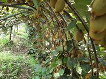 باغ کیوی 30000 متری در آمل   در شیپور