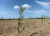 فروش زمین کشاورزی 2000 متر در قائم شهر در شیپور-عکس کوچک