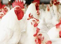 فروش مرغداری 10000 متر در صومعه سرا در شیپور-عکس کوچک