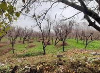 500 متر باغ قدیمی   سندار چهار دیواری  مفت در شیپور-عکس کوچک