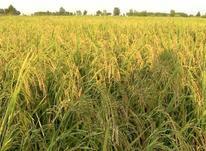 فروش زمین کشاورزی 310000 متر در آستانه اشرفیه در شیپور-عکس کوچک