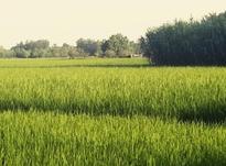 فروش زمین کشاورزی 55000 متر در آستانه اشرفیه در شیپور-عکس کوچک
