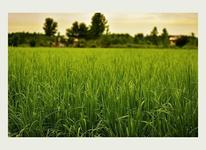 فروش زمین کشاورزی 50000 متر در لشت نشا در شیپور-عکس کوچک