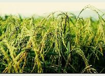 فروش زمین کشاورزی 160000 متر در سیاهکل در شیپور-عکس کوچک