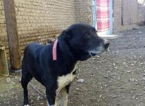 سگ گله ای عالی در شیپور-عکس کوچک