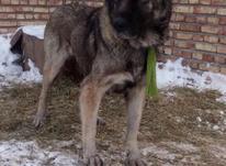 سگ ماده سرابی نگهبان در شیپور-عکس کوچک