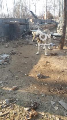 سگ عراقی عالی در گروه خرید و فروش ورزش فرهنگ فراغت در آذربایجان شرقی در شیپور-عکس2