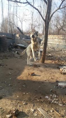 سگ عراقی عالی در گروه خرید و فروش ورزش فرهنگ فراغت در آذربایجان شرقی در شیپور-عکس3