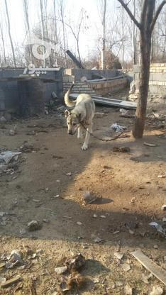 سگ عراقی عالی در گروه خرید و فروش ورزش فرهنگ فراغت در آذربایجان شرقی در شیپور-عکس1