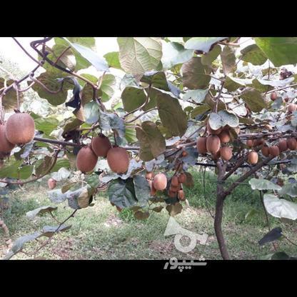 فروش یامعاوضه باغ میوه603 متر در تالش در گروه خرید و فروش املاک در گیلان در شیپور-عکس1