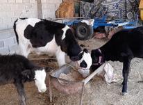 فروش گوساله جوانه در شیپور-عکس کوچک