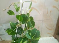 فروش تک گیاه اسکاندیس ابلق در شیپور-عکس کوچک