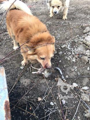 سگ گمشده پرتقالی  در گروه خرید و فروش خدمات و کسب و کار در تهران در شیپور-عکس4