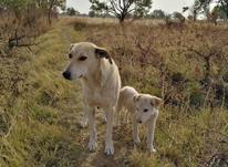 سگ باهوش وفادار  در شیپور-عکس کوچک