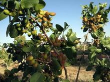 فروش زمین کشاورزی با نهال 20ساله پسته چاه دانشجو بجد در شیپور