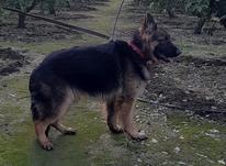 سگ کینگ ژرمن مو بلند در شیپور-عکس کوچک