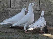 کبوتر سار درشت در شیپور-عکس کوچک