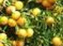 فروش زمین کشاورزی 5475 متر در تنکابن در شیپور-عکس کوچک