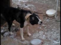 سگ قهدریجان در شیپور-عکس کوچک